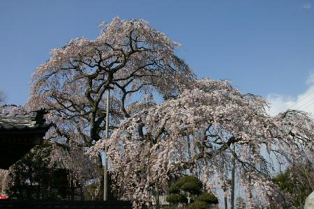 広琳寺のしだれ桜
