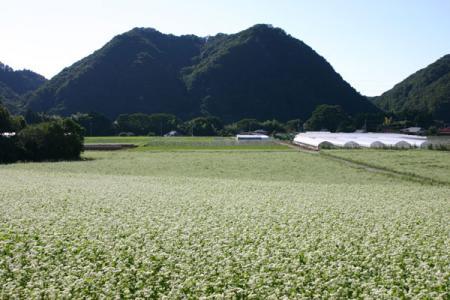 牧野の蕎麦畑