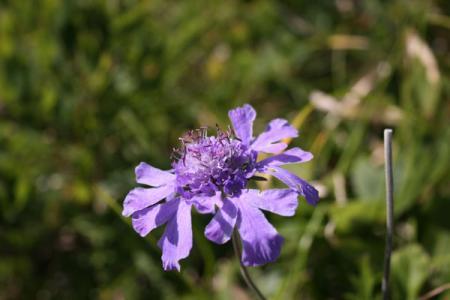 八方尾根の花
