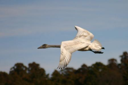 風見の白鳥
