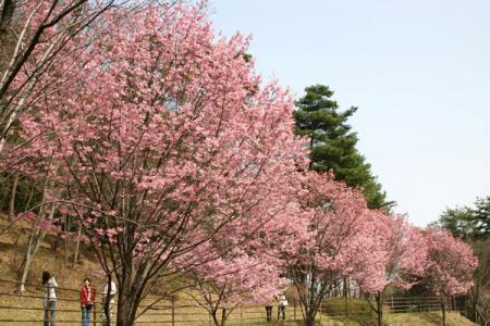 みかも山の桜