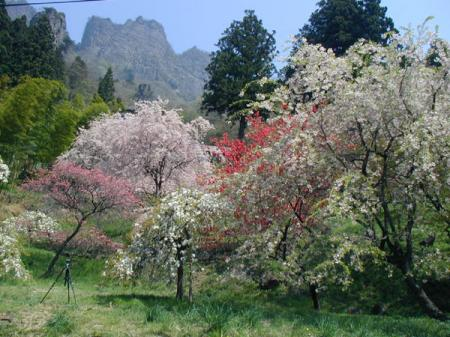 妙義山桜の里