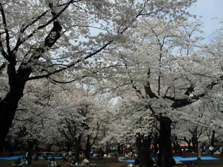 大宮公園の桜