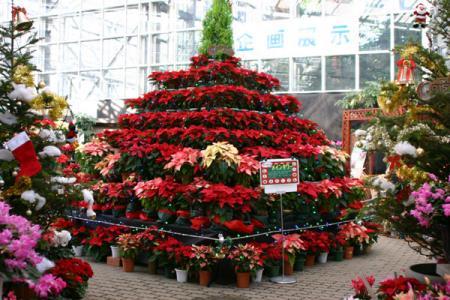 クリスマスを彩る鉢花展