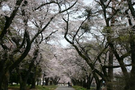 酪農試験場の桜