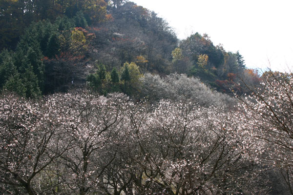 冬桜(フユザクラ)とは?花言葉や名所、種類や見頃 …