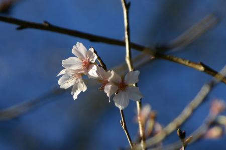 根本山の四季桜