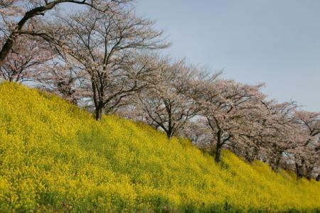 早乙女の桜
