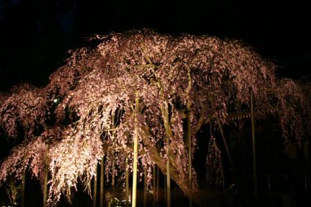 太山寺の夜桜