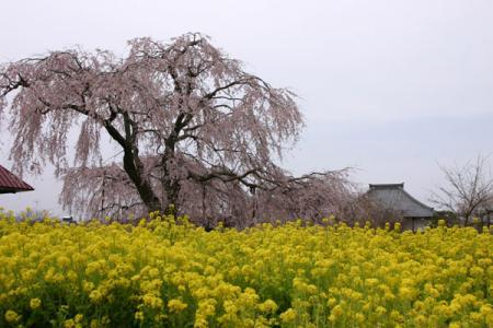 長福寺のしだれ桜