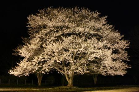 淡墨桜のライトアップ