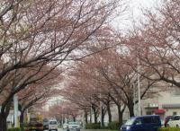 とある桜並木その2…