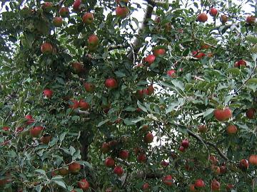 りんご園-A