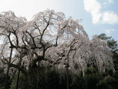長輿山枝垂桜