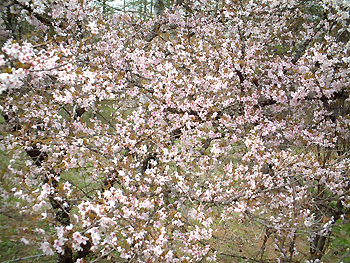 河口湖富士桜・ミツバツツジ祭り