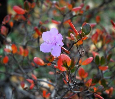 エゾムラサキツツジの花と紅葉