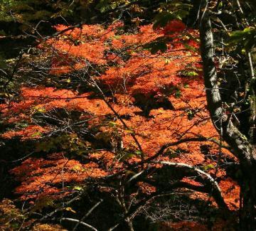 上磯山道紅葉