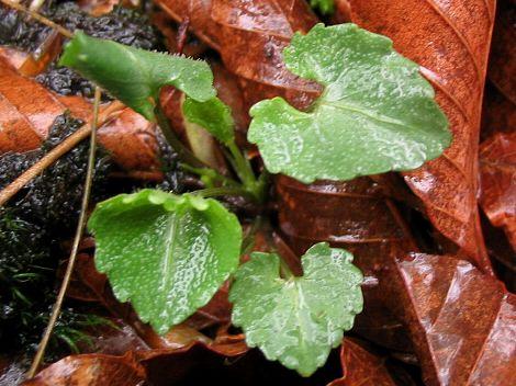 葉だけの個体