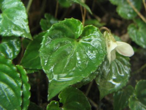 雨水をためる葉っぱ