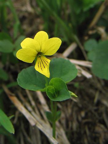 黄花の駒の爪