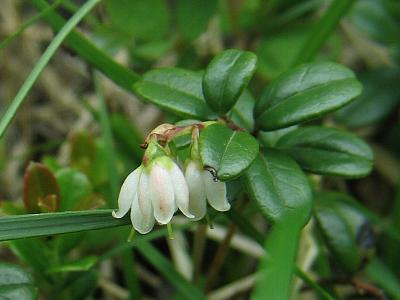 コケモモ白花
