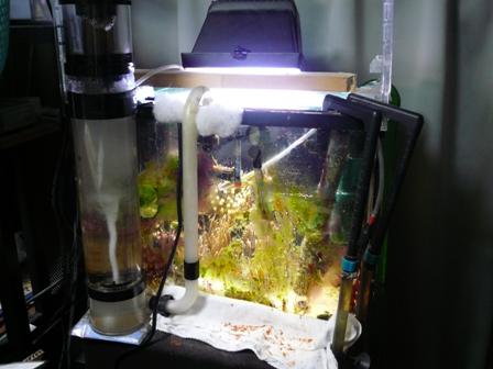 クマノミ水槽1