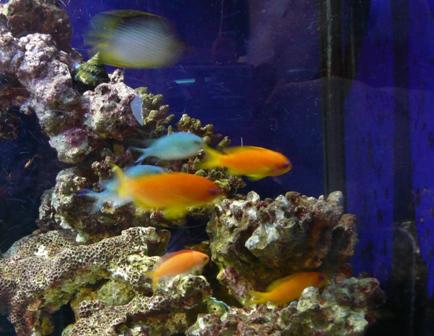 インド金魚ハナダイ