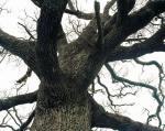 1455poitevin_arbre.jpg
