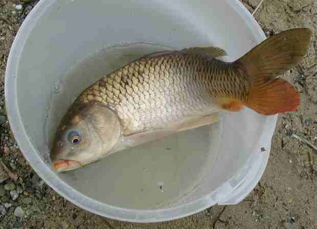釣り上げた46cmの鯉