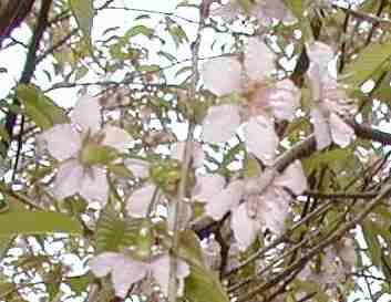 普門寺の寒桜