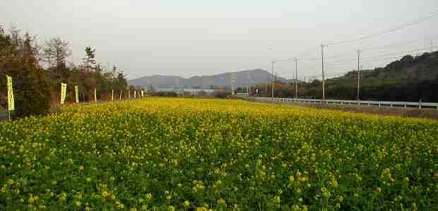 三分咲きの菜の花畑