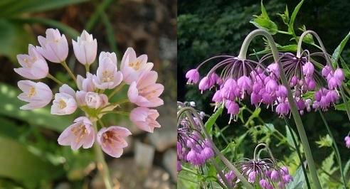 Allium_roseum_APss.jpg