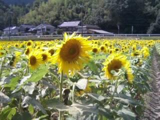 himawari3.jpg
