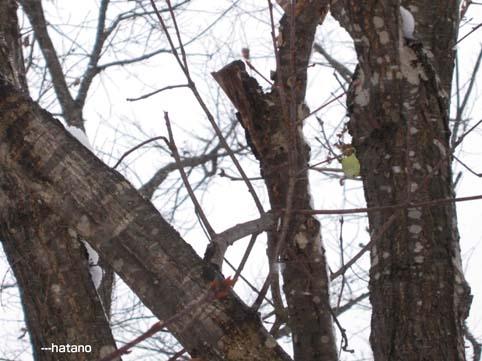 ウスタビガの繭、12月23日・嵐山ビジターセンター林