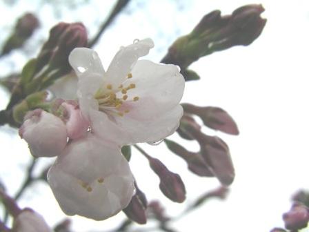 桜は雨の中でも・・・