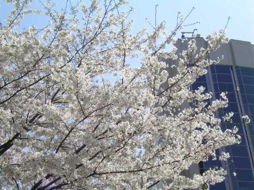 さくらタワーと桜・・春爛漫