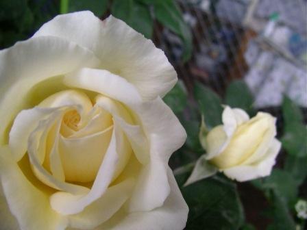 ♪~バラが咲いた、バラが咲いた・・