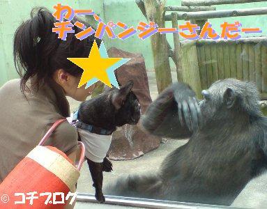 チンパンジーをみるコチ