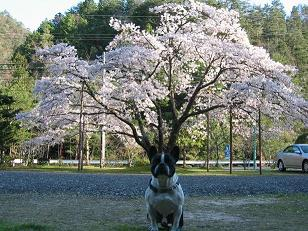 頭から桜咲く