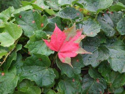 【岩手】ツタに紅葉