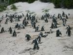 南アフのペンギンだらけ