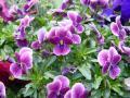 薄紫ヴィオラ