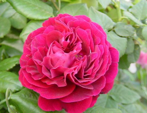 赤のバラ?