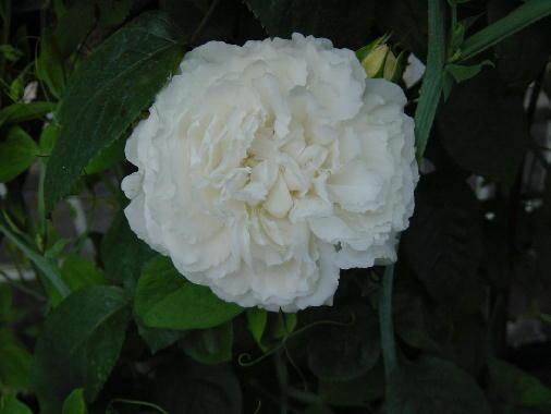ホワイトのバラ?