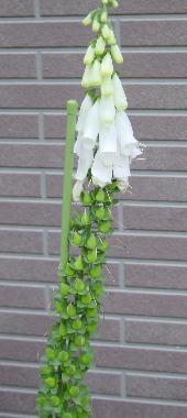 ジギタリス種1