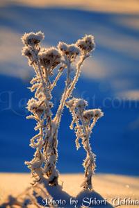 iceflower.jpg