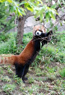 ressa-panda01.jpg