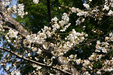 白い桜01