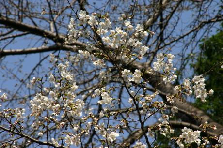 白い桜02