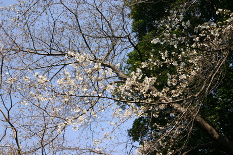白い桜03